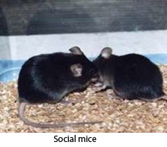 Photo of mice socializing in experimental setting